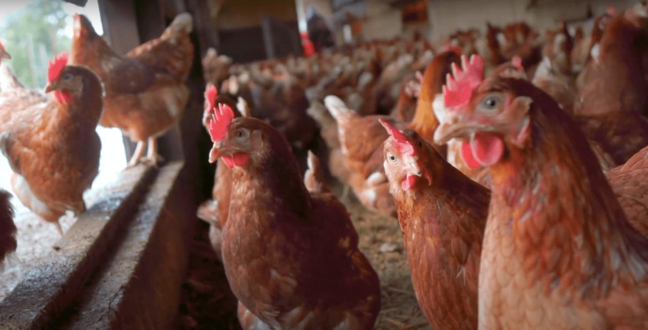 Wood Farm chickens