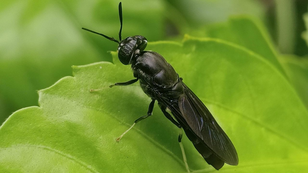 The black soldier fly.